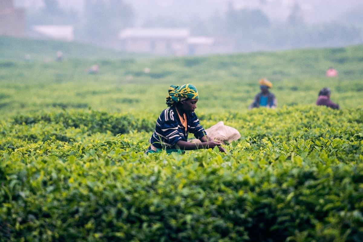 Sapete da dove viene il tè che bevete?