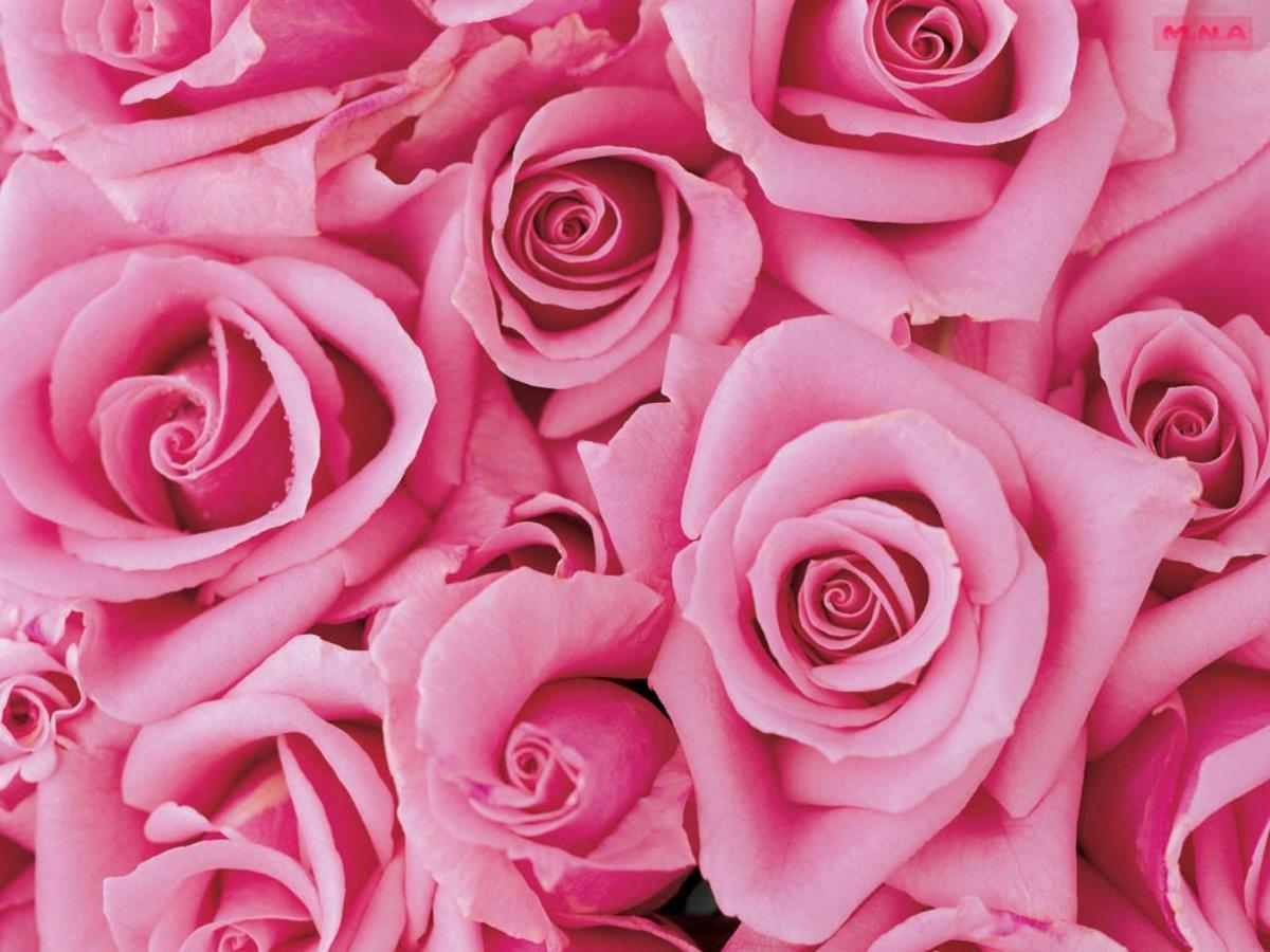 La rosa: tra bellezza e benefici